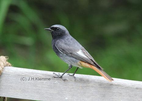 Hausrotschwanz (Phoenicurus ochruros) adultes Männchen [Mai]