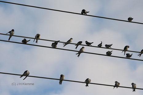 Mehlschwalbe (Delichon urbicum) Versammlung von Vögeln auf Stromleitung [August]