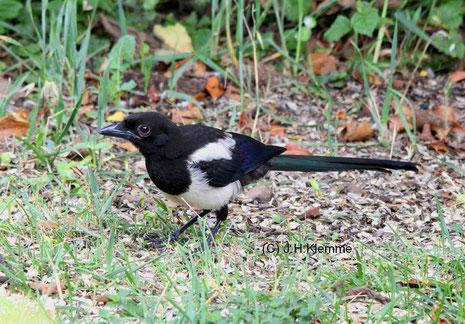 Elster (Pica pica) noch nicht selbständiger Jungvogel [Juli]
