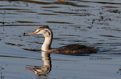 Haubentaucher (Podiceps cristatus) Halberwachsener Vogel (Laacher See, RLP) [Oktober]
