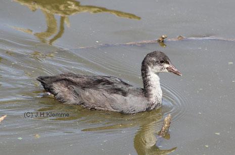 Blässhuhn (Fulica atra) Noch nicht selbständiger Jungvogel (vorn) mit Altvogel (hinten). Laacher See, RLP [Juni]