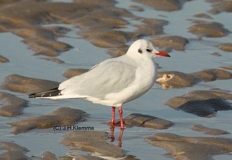 Lachmöwe (Chroicocephalus ridibundus) Adulter Vogel im Schlichtkleid [Küste von Zoutelande, NL] (Januar)