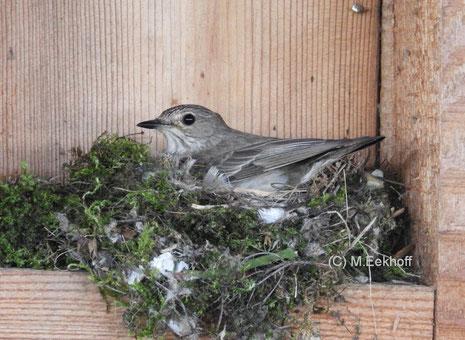 Grauschnäpper (Muscicapa striata) Brütendes Weibchen auf Nest [Juli]