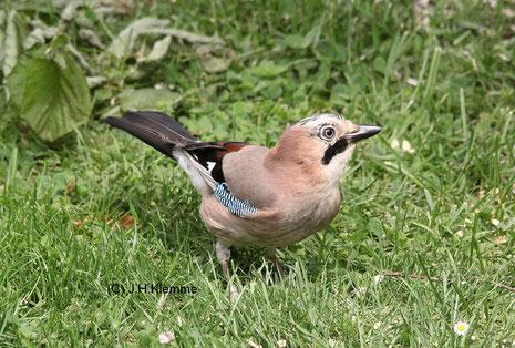 Eichelhäher (Garrulus glandarius) Adulter Vogel [Juni]