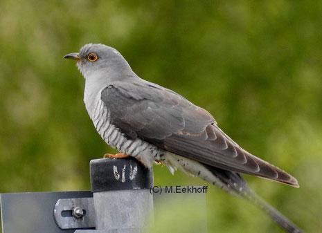Kuckuck (Cuculus canorus) Aufgrund des vor der Aufnahme vorgetragenen Gesangs als Männchen identifiziert. Rehdener Geestmoor (Kr. Diepholz, NS) [Mai]