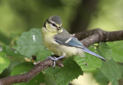Blaumeise (Cyanistes caeruleus) Noch  nicht ganz selbständiger Jungvogel (noch vor der Jugendmauser) [Juni]