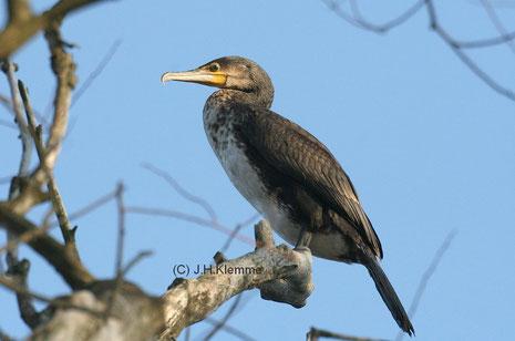 Kormoran (Phalacrocorax carbo) Jungvogel im zweiten Jahr. Ahrtal Nähe Altenahr (RLP) [Februar]