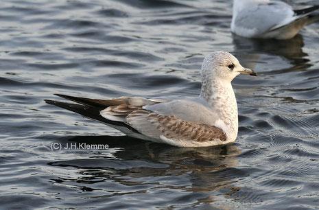 Sturmmöwe (Larus canus) Jungvogel im 1. Winter (Laacher See) [Januar]