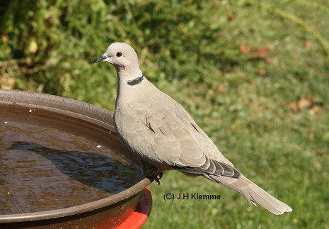 Türkentaube (Streptopelia decaocto) adulter Vogel [September]