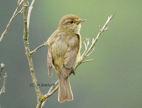 Zilpzalp (Phylloscopus collybita) Adulter Vogel (Männchen und Weibchen gleich gefärbt) [April]
