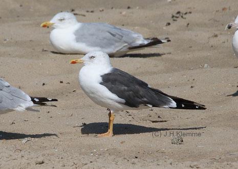 Heringsmöwe (Larus fuscus) Adulter Vogel (Bildmitte). Küste bei Zoutelande, Zeeland (NL) [September]