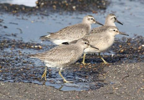 Knutt (Calidris canutus) Gruppe selbst. Jungvögel, Küste bei Westkapelle (NL) [September]