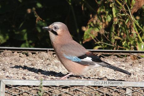 Eichelhäher (Garrulus glandarius) Vogel im 1. Jahr (?)
