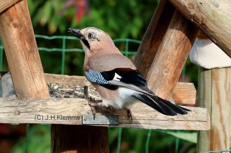 Eichelhäher (Garrulus glandarius) adulter (?) Vogel [Oktober]