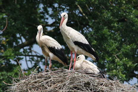 Weißstorch (Ciconia ciconia) Altvogel auf dem Horst mit 2 Jungvögeln (Nähe Dümmer) [Juni]