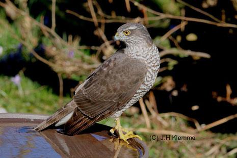 Sperber (Accipiter nisus) Weibchen [April]
