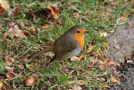 Rotkehlchen (Erithacus rubecula) Vogel im Adultkleid [März]