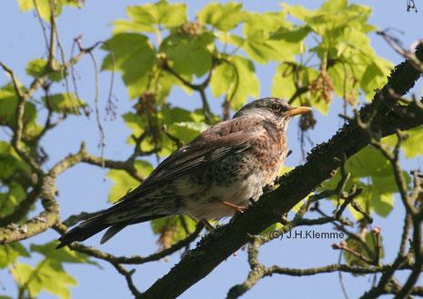 Wacholderdrossel (Turdus pilaris) Adulter Vogel [Mai]