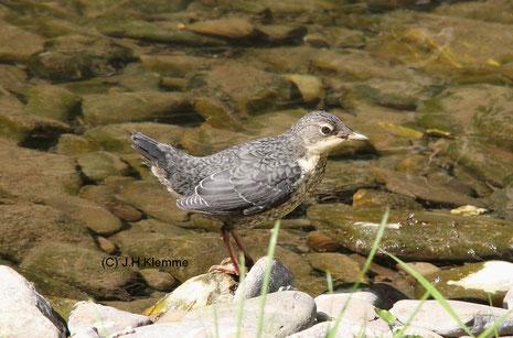 Wasseramsel (Cinclus cinclus) Selbständiger Jungvogel [Ende April]