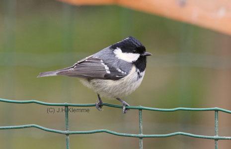 Tannenmeise (P. ater) adulter (?) Vogel [Oktober]