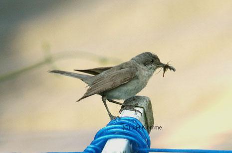 Klappergrasmücke (Sylvia curruca) fütternder Altvogel [Juni]