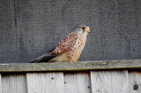 Turmfalke (Falco tinnunculus) Männchen auf einem Beobachtungsturm für Kraniche [März]