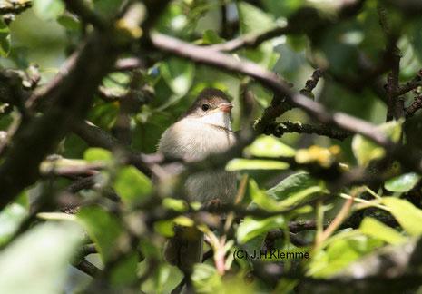 Dorngrasmücke (Sylvia communis) noch unselbst. Jungvogel [Juni]