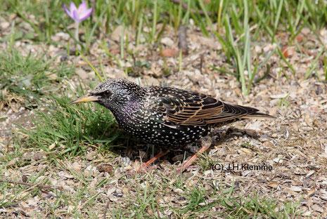 Star (Sturnus vulgaris) Weibchen bei der Nahrungssuche [März]