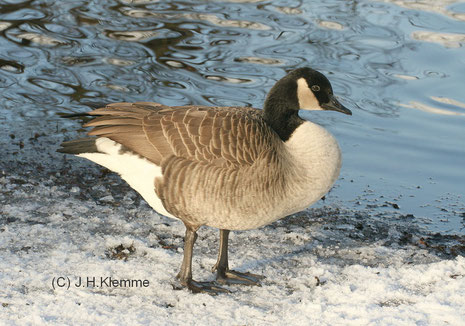 Kanadagans (Branta canadensis) Adulter Vogel am Ufer des Laacher Sees (Kreis Ahrweiler, RLP)  [Februar]