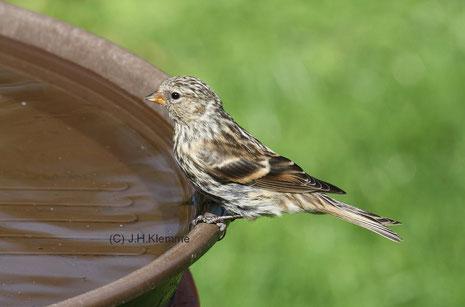 Alpenbirkenzeisig (C. flammea cabaret) selbständiger Jungvogel [August]