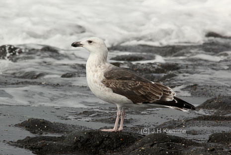 Mantelmöwe (L. marinus) Vogel im dritten (?) Jahr [September]