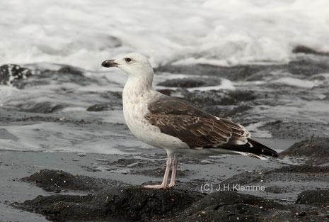 Mantelmöwe (Larus marinus) Vogel vermutlich im dritten Jahr. Küste von Westkapelle, NL [September]