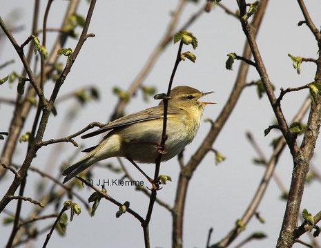 Fitis (Phylloscopus trochilus) Singendes Männchen [April]