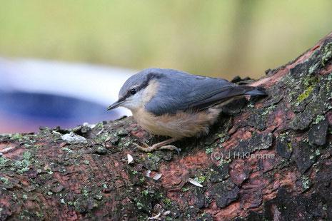 Kleiber (Sitta europaea) Noch nicht ganz selbständiger Jungvogel [Juni]