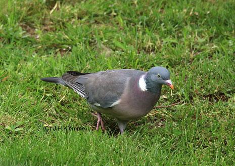 Ringeltaube (Columba palumbus) adulter Vogel [Juni]