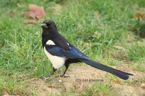 Elster (Pica pica) Adulter (?) Vogel [Oktober]