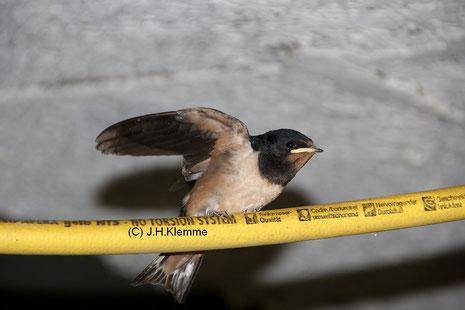 Rauchschwalbe (Hirundo rustica) Gerade ausgeflogener Jungvogel [August]