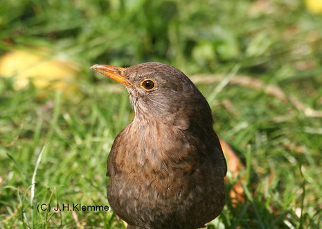 "Amsel (Turdus merula) Noch flugunfähiger Jungvogel (""Pullus""), erst kürzlich aus dem Nest geklettert [Mai]"