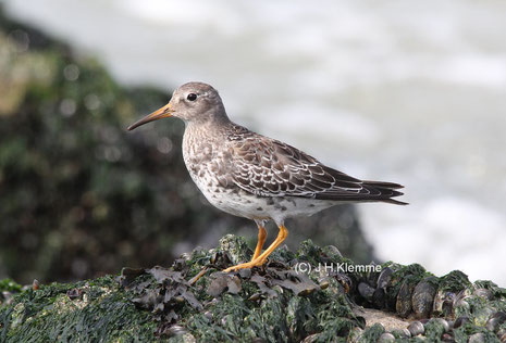 Meerstrandläufer (Calidris maritima) Selbständiger Jungvogel (Küste bei Westkapelle, NL)  [September]