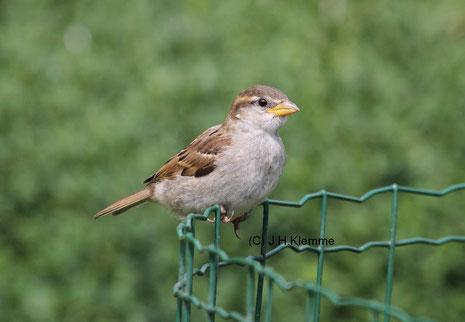 Haussperling (Passer domesticus) Jungvogel unmittelbar nach Ausfliegen aus der Nisthöhle [Juni]