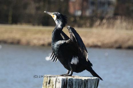 Kormoran (P. carbo) adulter Vogel, Gefieder trocknend (Vechte-See in Nordhorn, Niedersachsen) [März]