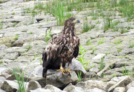 Seeadler (Haliaeetus albicilla) halbadulter Vogel, Elbe-Ufer bei Boizenburg (Mecklenburg) [Juni]
