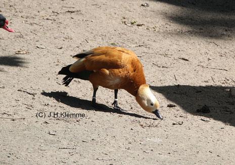 Rostgans (Tadorna ferruginea) Adultes Männchen in einem Freigehege [Mai]