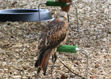 Rotmilan (Milvus milvus) Adulter Vogel in einer Greifvogelstation [Mai]
