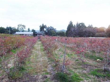 2011.11月ブルーベリーの紅葉