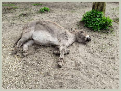 Hoefbevangenheid is zeer pijnlijk voor de ezel! Daarom gaat hij zijn hoeven ontlasten door veel neer te liggen.