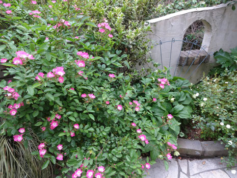 我が家のバラ 一斉に咲き始めました。