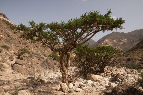 Weihrauch war in biblischen Zeit der kostbarste Exportartikel des Oman