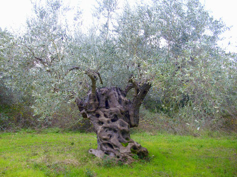 Alter Olivenbaum auf Wiese-Knorriger Olivenbaum_Giordanos Olivenholz