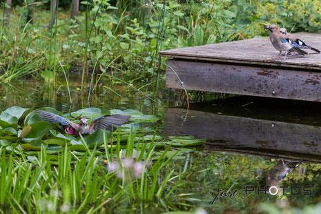 Eichelhäher badet im tiefen Wasser zwischen Seerosenblättern